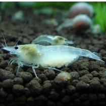 雪球蝦10隻組